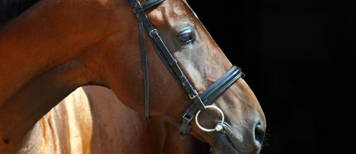 Portrait of bay dressage horse on dark background